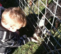 Feedng a goat.